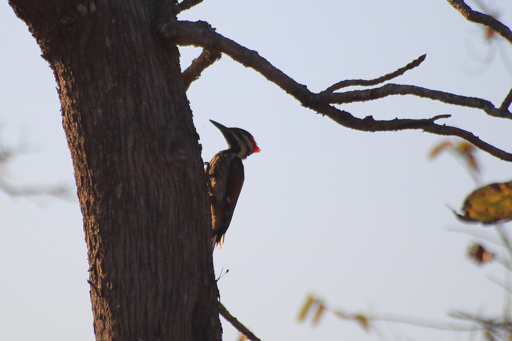 Streak throated woodpecker, male