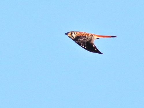 American Kestrel in flight 05-20161212