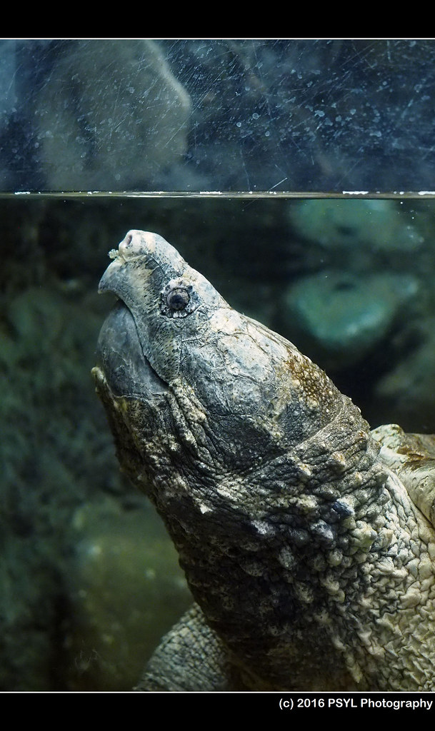 Alligator snapping turtle (Macroclemys temmincki)
