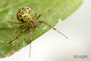 Orb weaver spider (Bertrana sp.) - DSC_8521