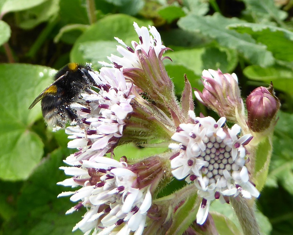 Winter heliotrope and bumblebee worker