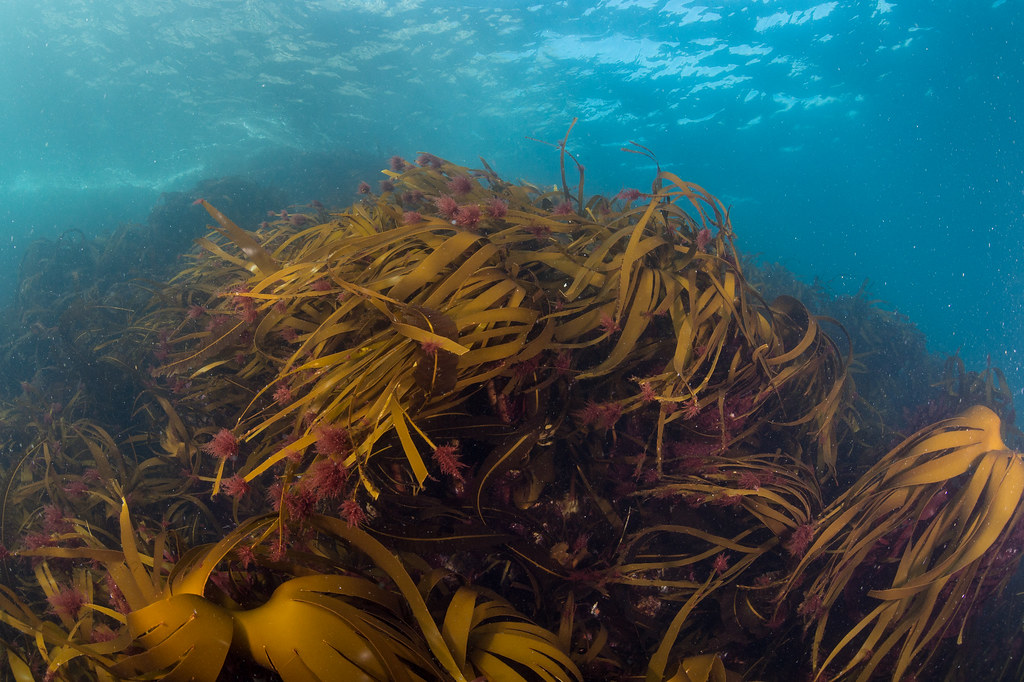 A kelp forest in shallow waters at St Kilda