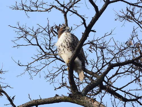 Riverside Red-Tail - 0986
