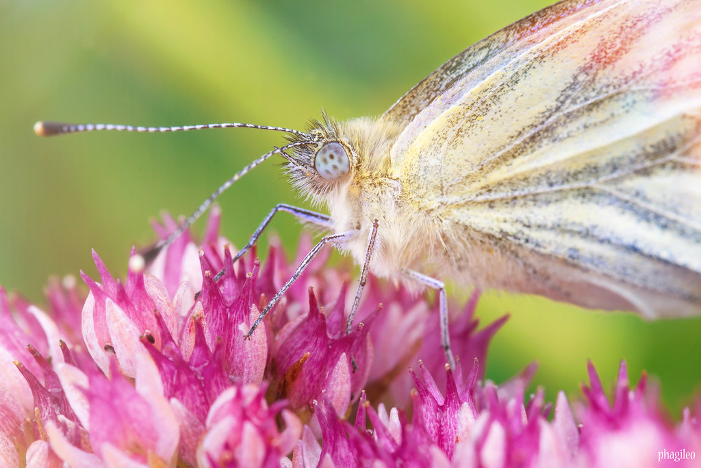 Cabbage White on a Pink Flower