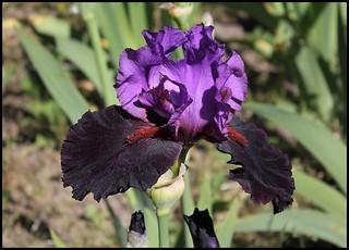 Iris Romantic Evening (2)