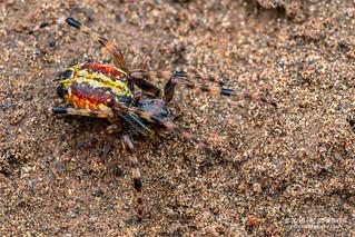 Orb weaver spider (Alpaida truncata) - DSC_3198