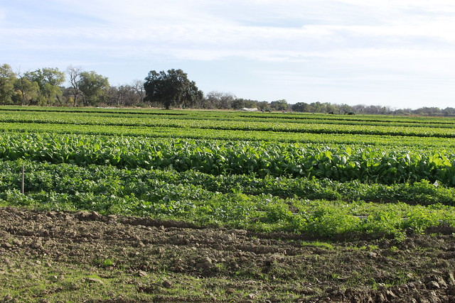 Kale Fields