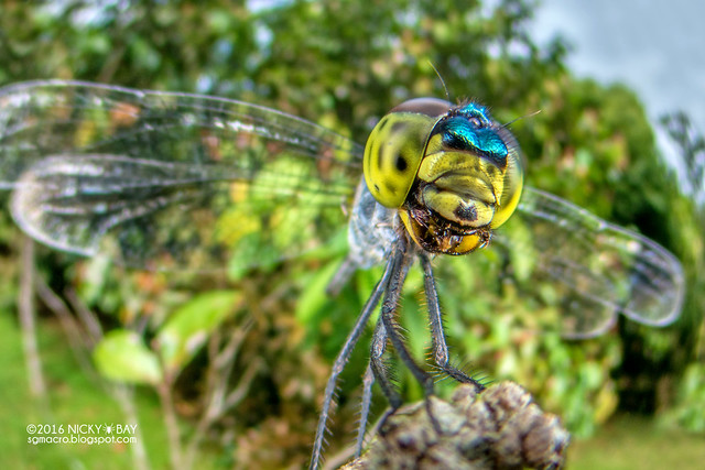 Dragonfly (Anisoptera) - DSC_6741