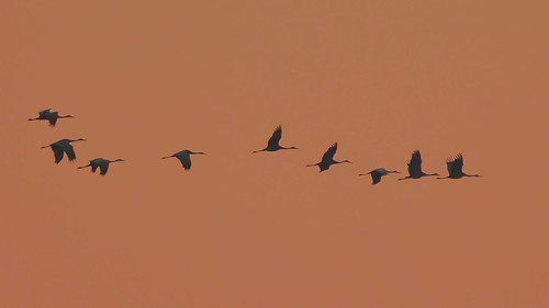 Sandhill Cranes in Pre-dawn Light