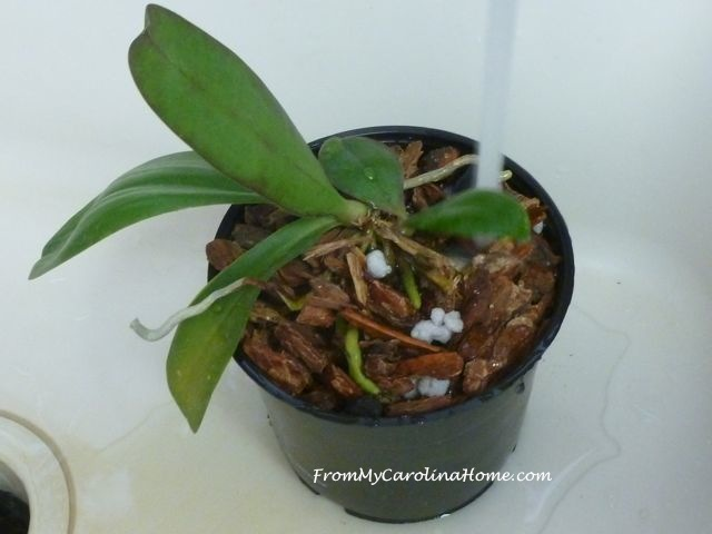 Orchid repotting 9