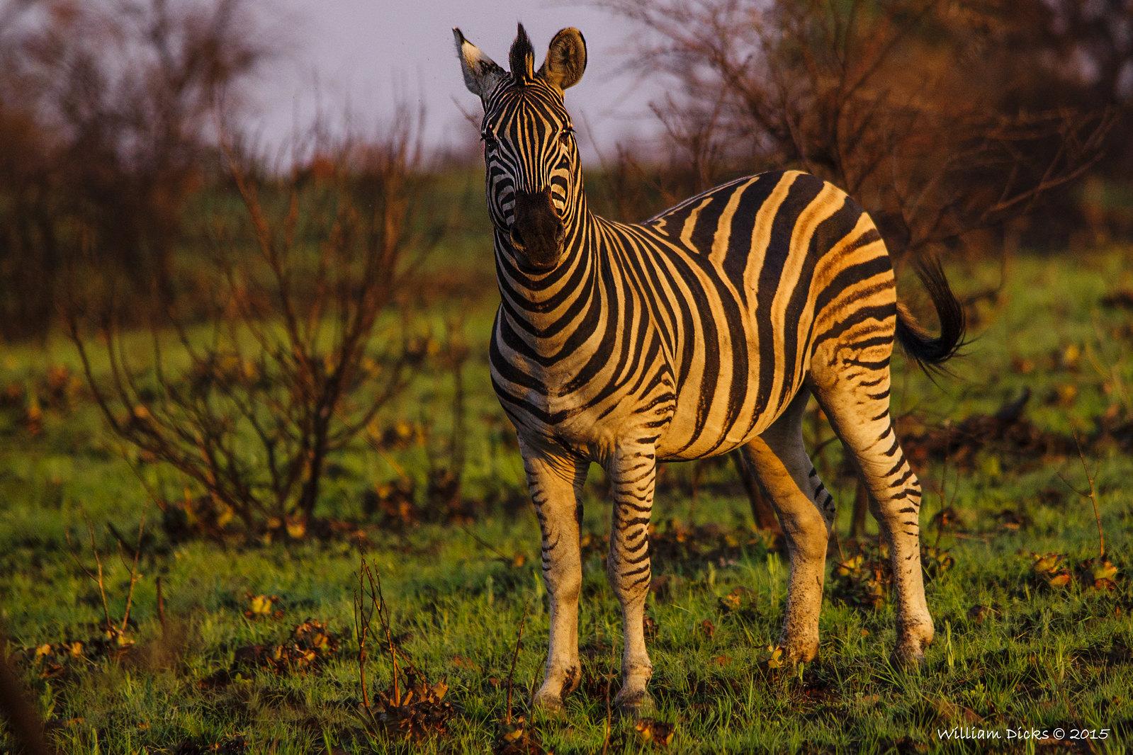 Another watching zebra
