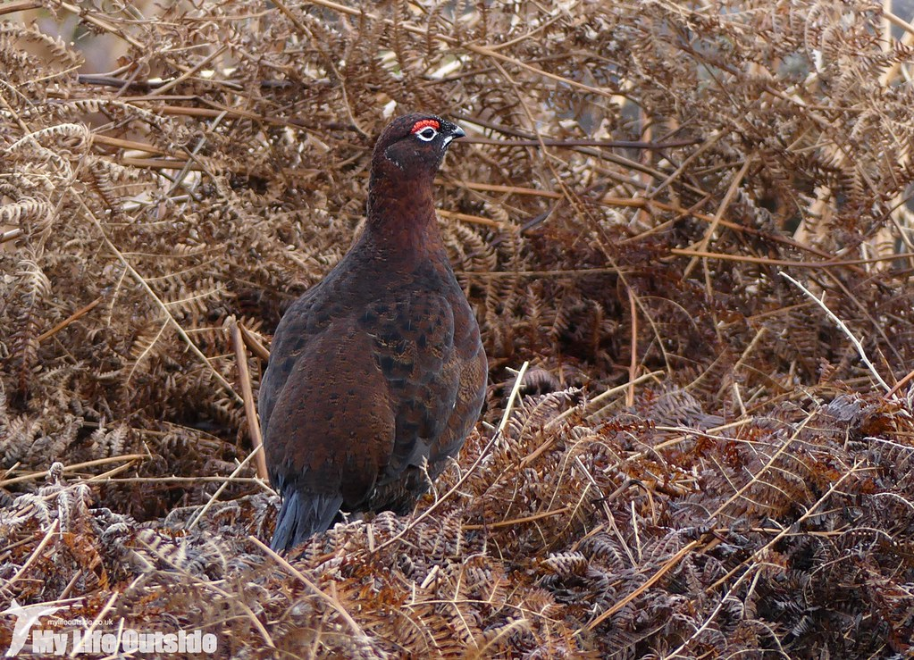 P1060288 - Red Grouse, Ilkley Moor