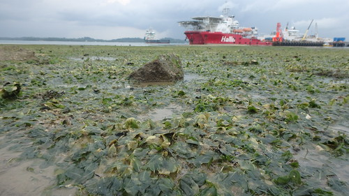 Seagrasses 'bleaching' at Pasir Ris, Loyang after oil spill in Johor Strait, Jan 2017
