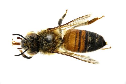 セイヨウミツバチ Apis (Apis) melifera Linnaeus, 1758-3-3