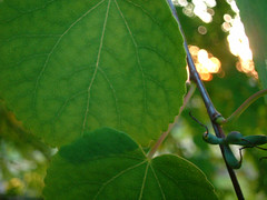 leaves | by Schnittke