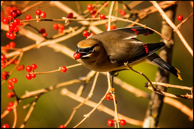 Waxwing With Berry II