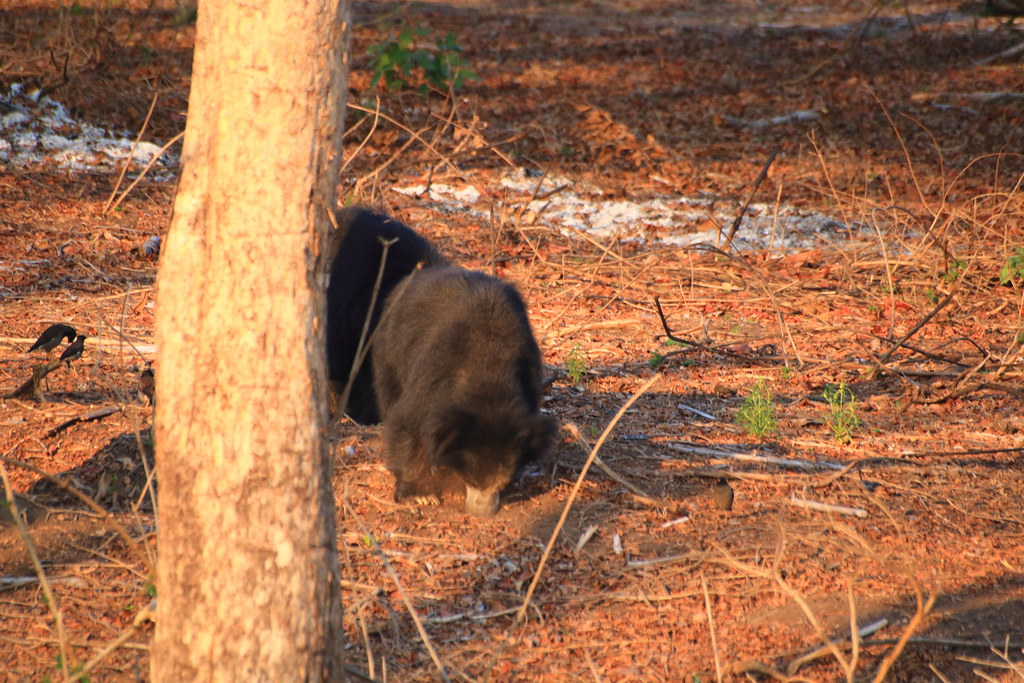 Sloth bears emerging