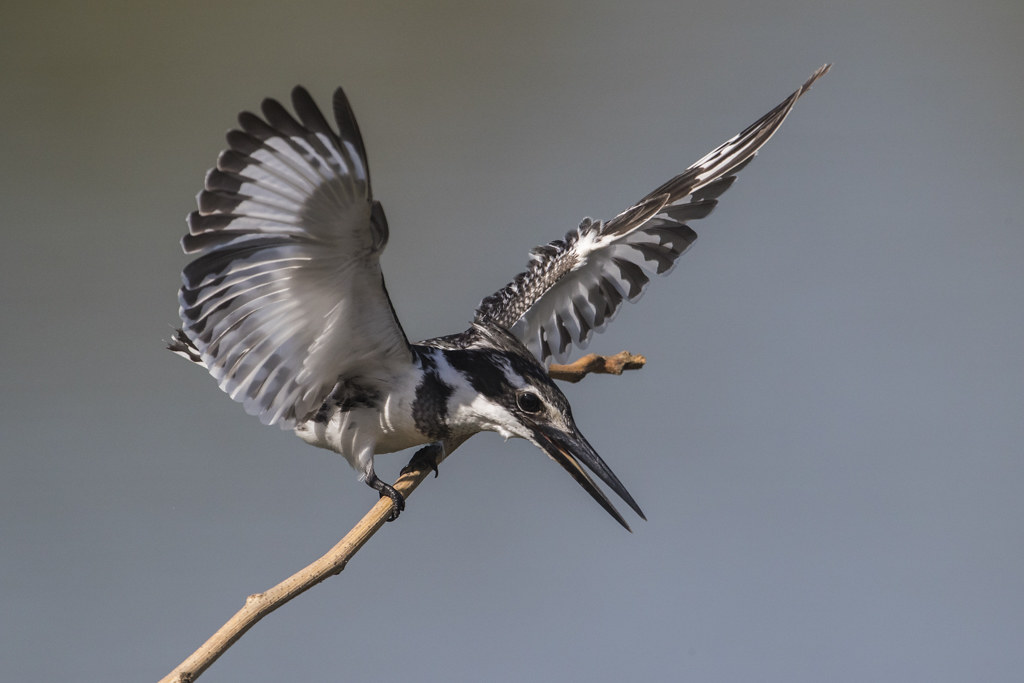 Pied Kingfishers in flight