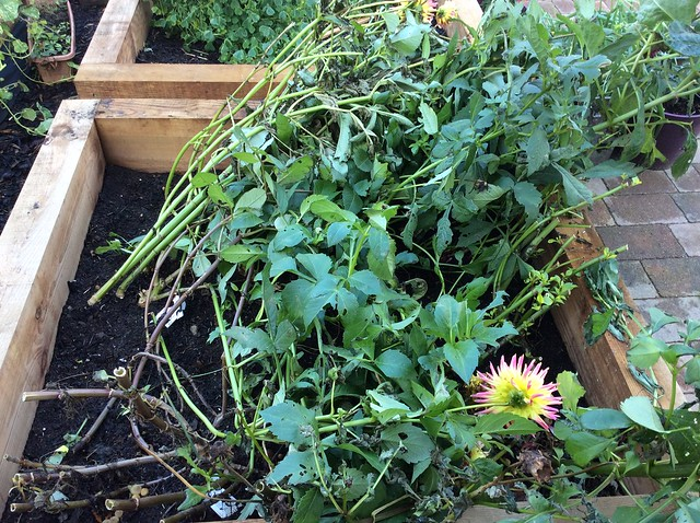 Wind effects on the edible dahlias