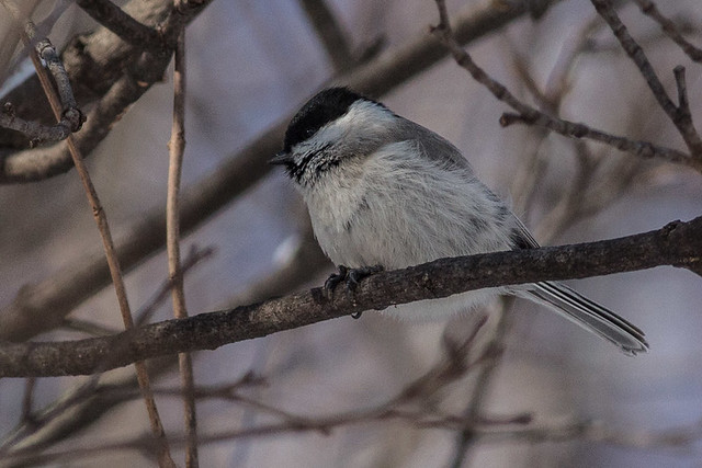 Willow Tit , maybe