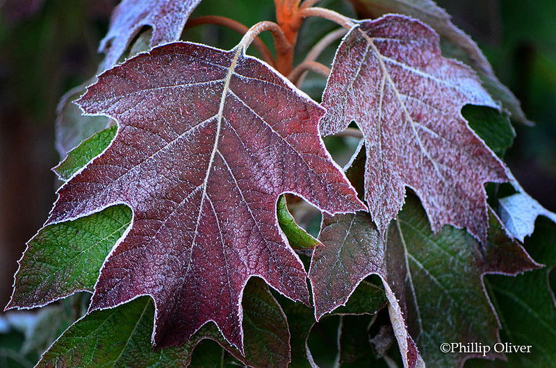 Hydrangea quercifolia leaves covered in frost