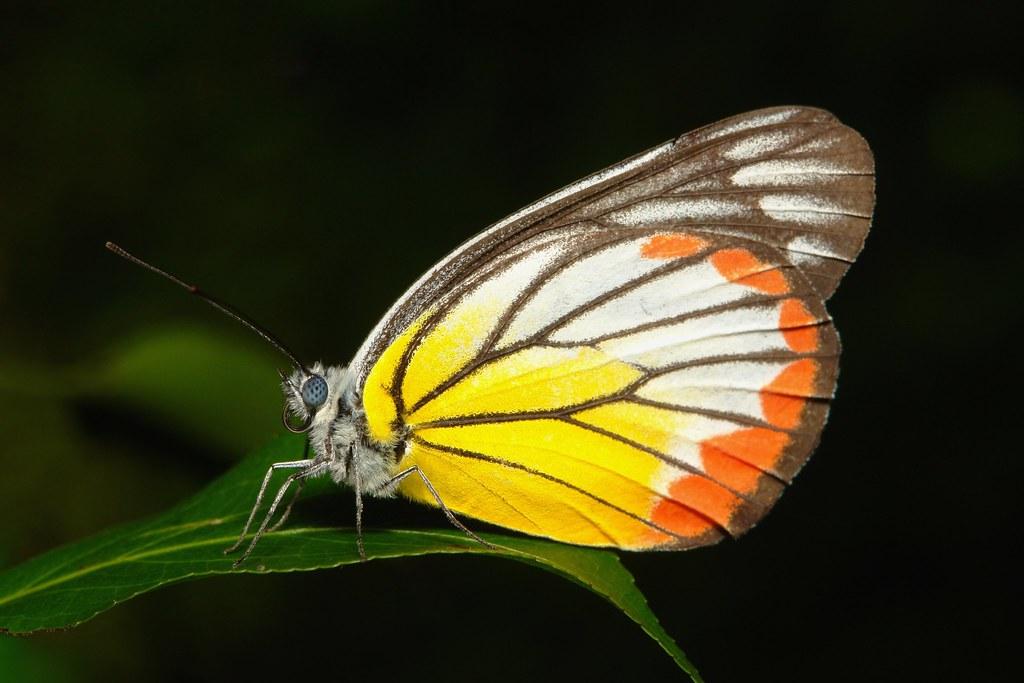 Painted Jezebel (Delias hyparete metarete, Pieridae)