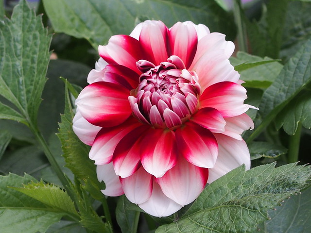 Edible dahlias
