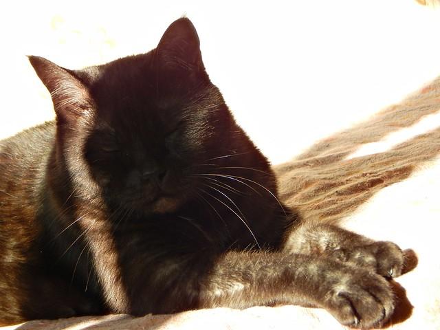 чёрный кот Муся на солнце | Musia the black cat