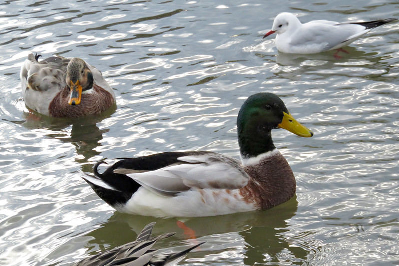 アイガモ (Cross between a mallard and domestic duck)