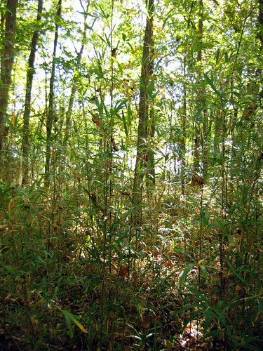 American Bamboo