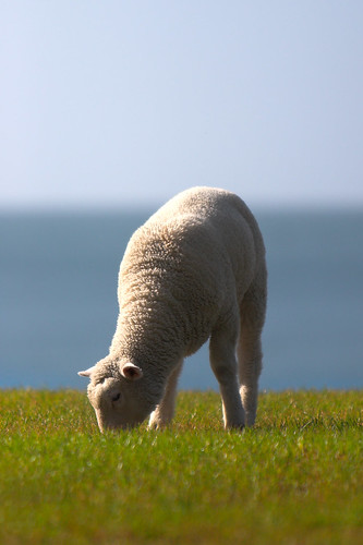 Lamb by the sea | by Kiwi Mikex