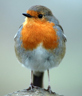 Robin inspecting my lens! | by Rivertay07 - thanks for over 4 million views