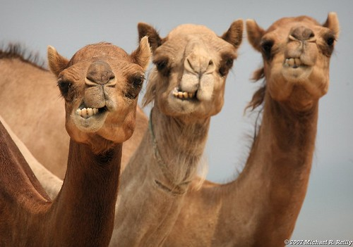 Three Wise Guys,   Dromedary Camel, Camelus dromedarius | by Michael R. Reilly