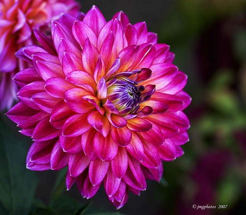 The Magnificent Dahlia | by jimgspokane