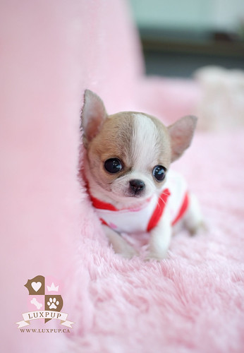 Teacup chihuahua | by LuxPup