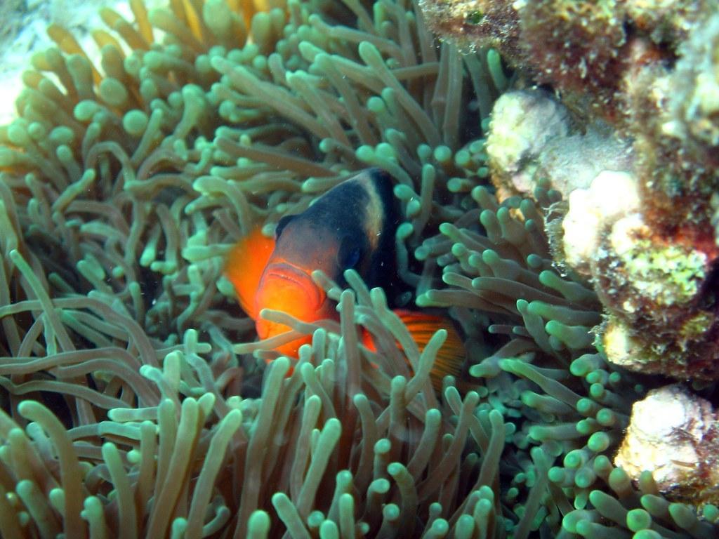 CBA - Nemo's cousin