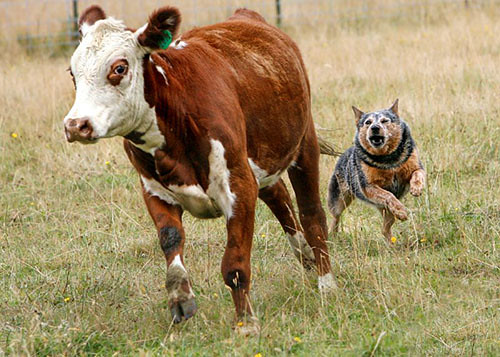 Ranch Cow Dogs For Sale