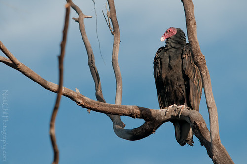 On Watch, Turkey Vulture | by Nick Chill Photography