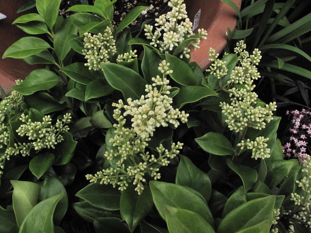 Ligustrum japonicum (Suwanee River Privet)