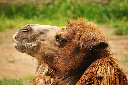 camel | by SerendipityMommy