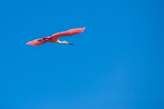 Roseate Spoonbill - Grand Isle, Louisiana | by Kris Krug