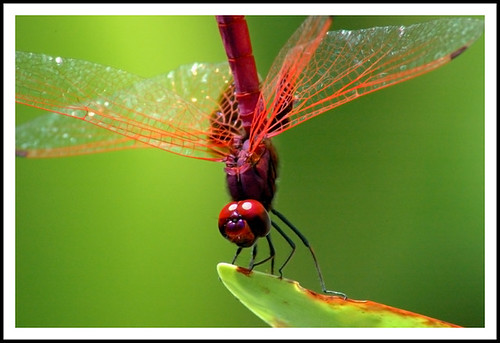 Dragonfly (not HDR) | by CheeYeong