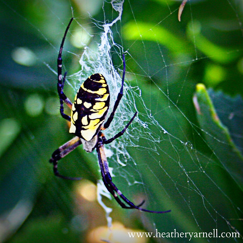 Black and Yellow Argiope Garden Spider