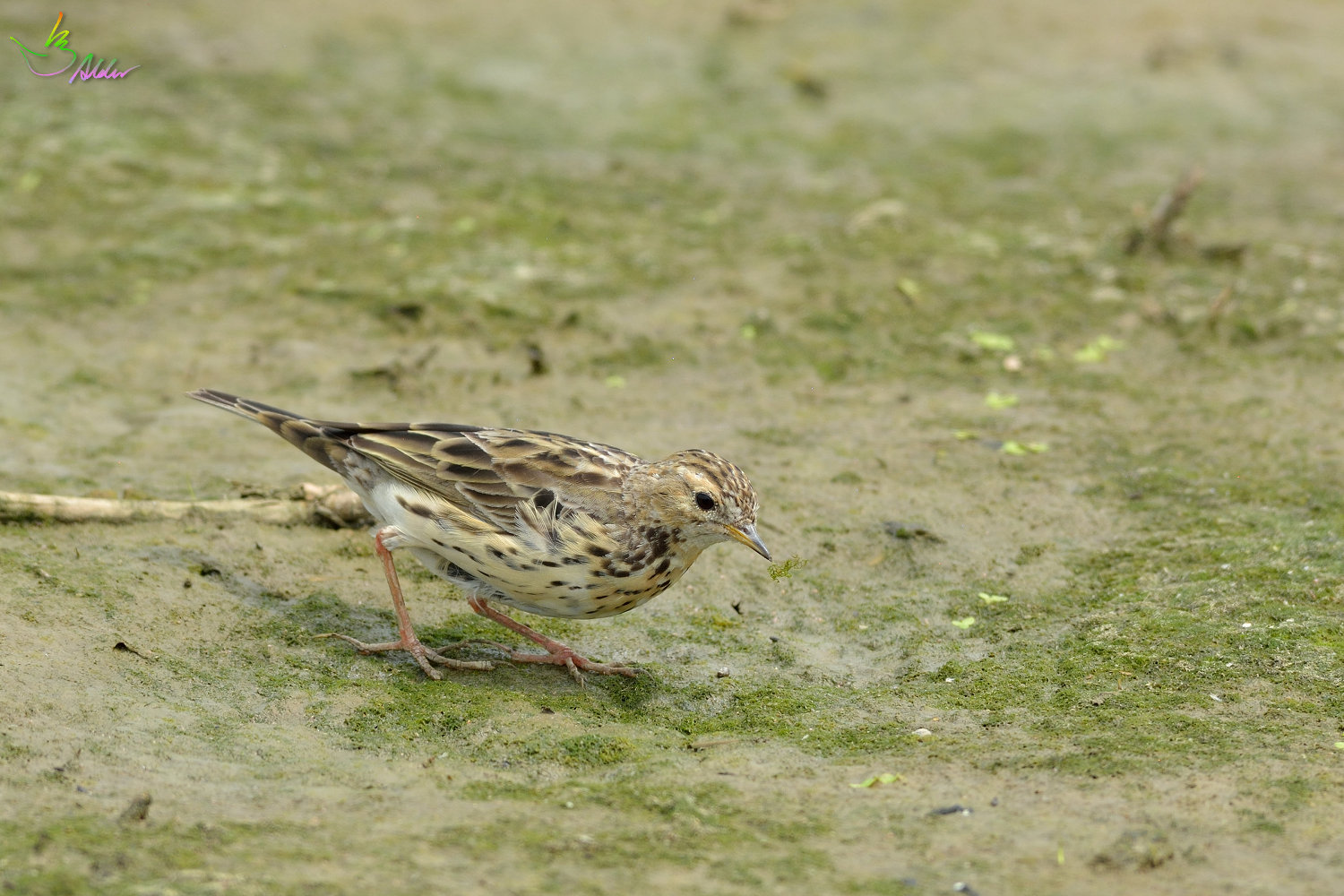 Red-throated_Pipit_3623