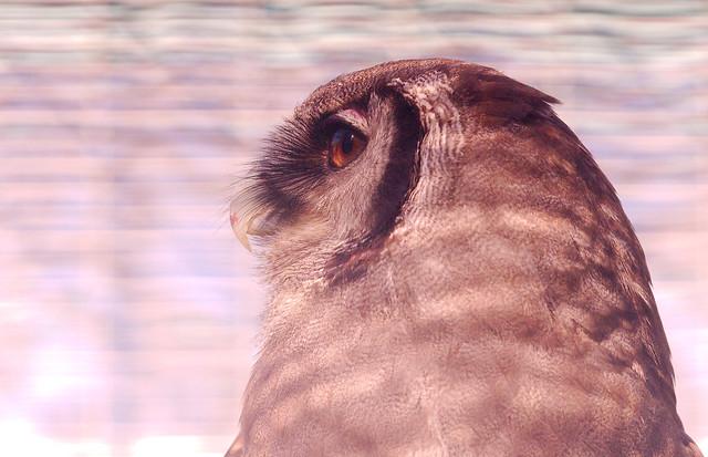 Milky Eagle Owl (Bubo lacteus)_15