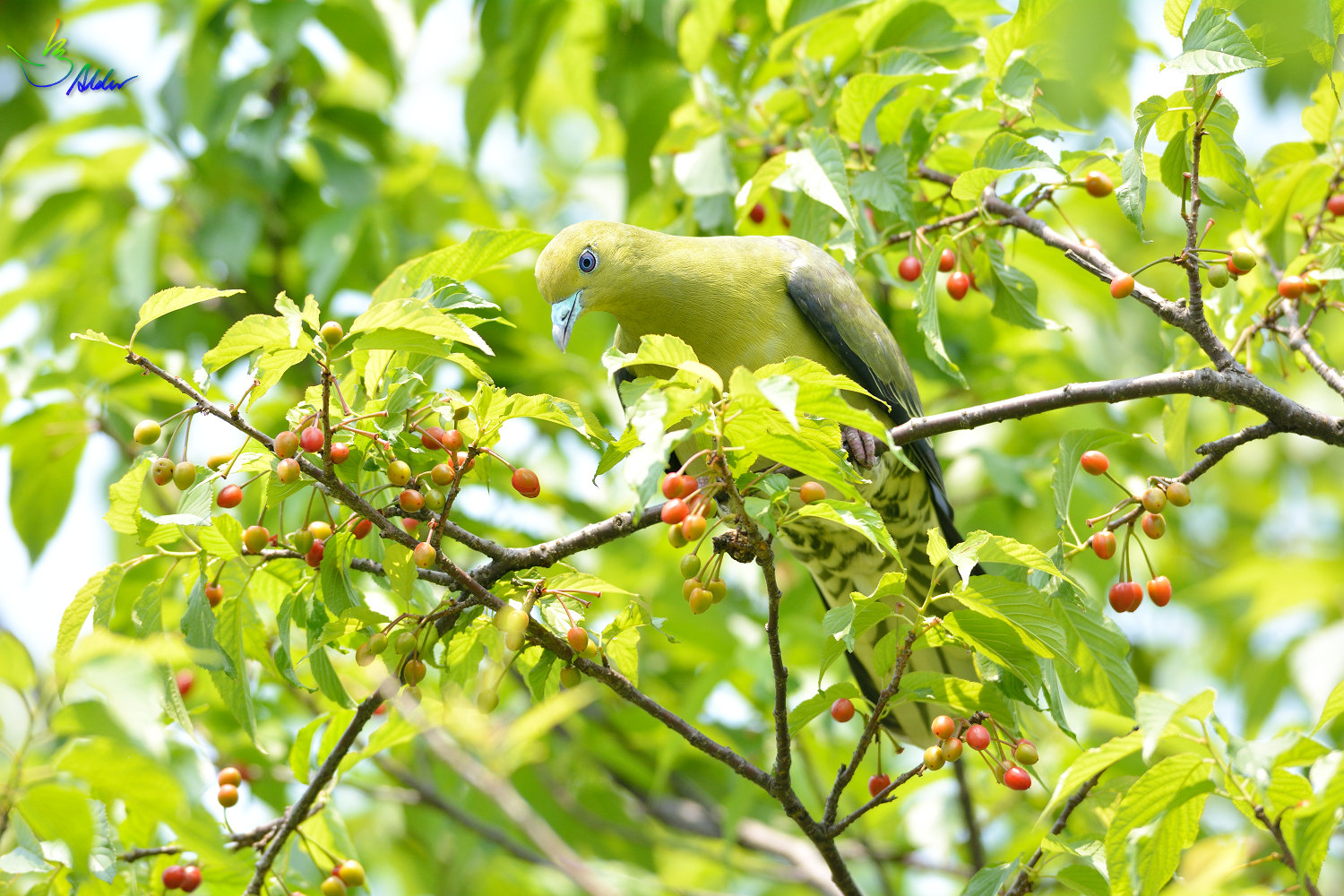White-bellied_Green_Pigeon_6141