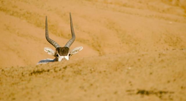 Addax (Addax nasomaculatus)_10