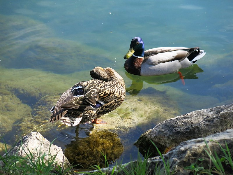 Ducks on the River Aar
