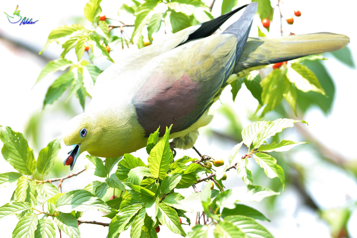 White-bellied_Green_Pigeon_6022