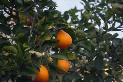 Asahi-Kigaku Takumar 50mmf3.5@f3.5-K3-Tangerines
